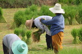 farmers in jasmine rice field Transplant rice seedlings poster