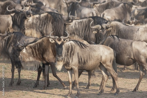 Migrating Herd Of Wildebeest, Masai Mara, Kenya, Africa