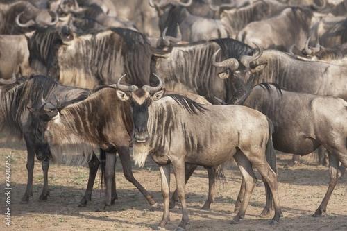 Migrating Herd Of Wildebeest, Masai Mara, Kenya, Africa