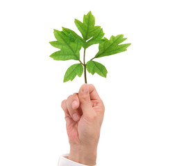 Green leaf in male hand