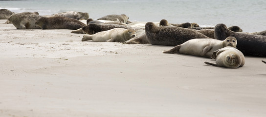 Robbenfamilie