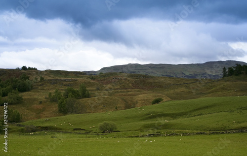 sheep grazing scottish countryside