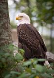 American Bald Eagle wildlife predator bird poster