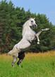 rearing arab horse