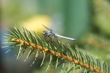 Dragonfly sitting on the branch of a spruce tree