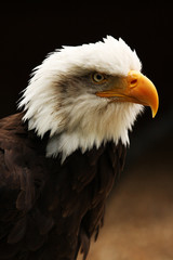 Vertical shot of Bald Eagle