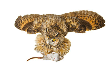 owl defends the prey