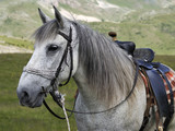 Horse from the mountain from Macedonia