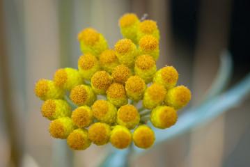 strawflower - Compositae helichrysum orientale