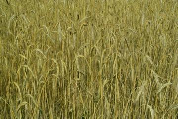 Weizen vor der Ernte