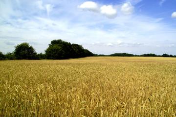 Weizenfelder im Havelland