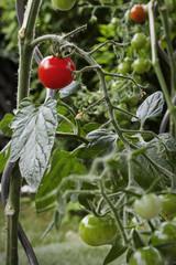 Tomate im Garten Bio