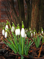 Snowdrops with dewdrops