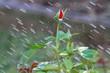 Роза под каплями дождя