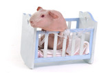 Guinea Pig in a child Cot poster