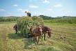 lavoro sul campo con i cavalli