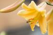 Yellow beautiful lily close up