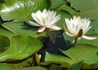 2 waterlillies