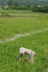 西瓜畑で働く人