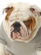 smug looking dog