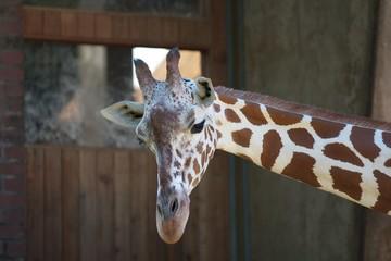 Giraffe in Pose