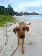 Seychellen Hund