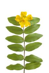 St John's wort flower and leaves