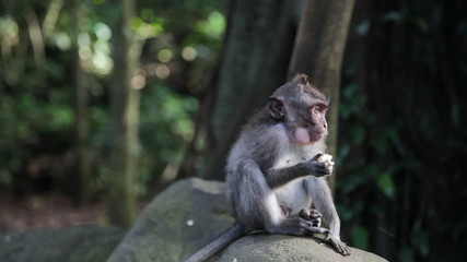 Young monkey sitting on a rock in forest. Indonesia, Bali