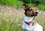 Jack Russel Terrier Sitting Calmly in High Grass poster