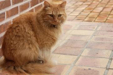 le chat roux pose