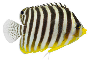 Multibarred Angelfish (Centropyge multifasciatus )