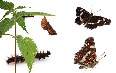 Metamorphosis of the Map Butterfly