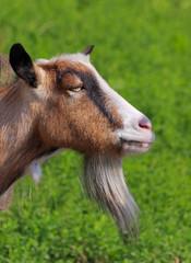 Billy goat portrait