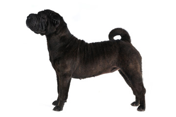 Shar-Pei Dog Show Stack on white