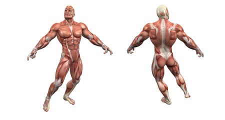 Modello Anatomico Muscolare