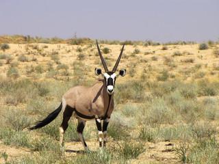 Kalagadi-Transfontier-Park - Oryx
