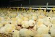 Big poultry rearing farm