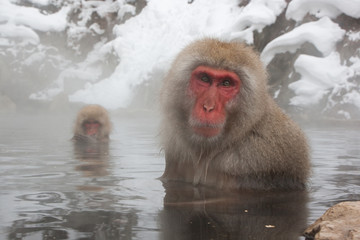 Macaque in Japan 3