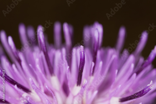 Extreme close-up of the petals of a thistle.