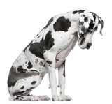 Great Dane Harlequin sitting in front of white background poster