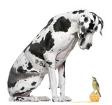 Great Dane Harlequin sitting in front of white background lookin poster
