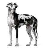 Great Dane Harlequin, 4 years old, standing poster