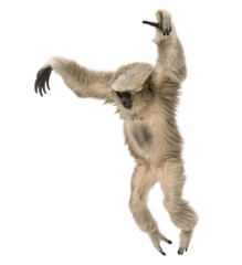 Young Pileated Gibbon, Hylobates Pileatus, 1 year old, leaping