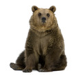 Brown Bear, 8 years old, sitting in front of white background