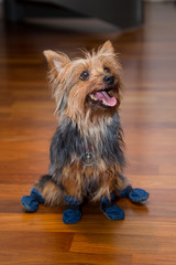 Indoor house dog wearing boots