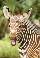 Grevy Zebra Behavior