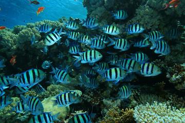 Scissortail Sergeants on coral reef