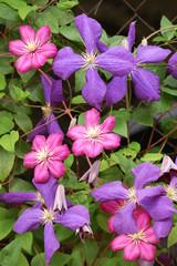 Blaue und rubinrote Clematis - Blüten und Blätter