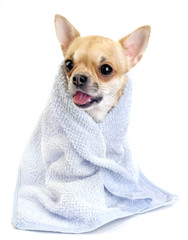 funny chihuahua  with blue towel isolated