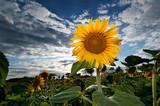Fototapeta sunflower field